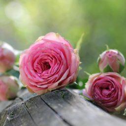 L'entêtant parfum des Roses fauves